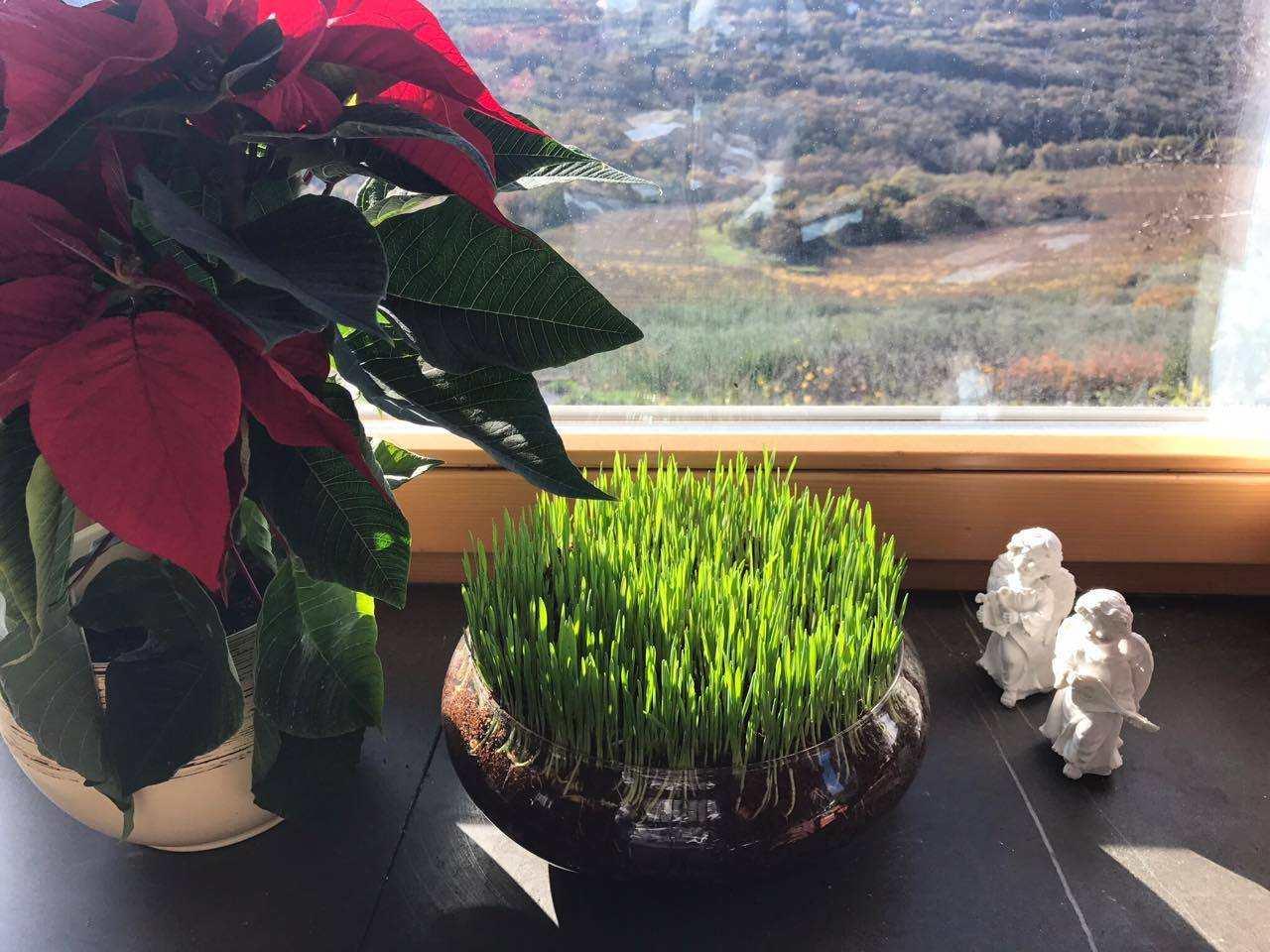 Sejanje božičnega žita