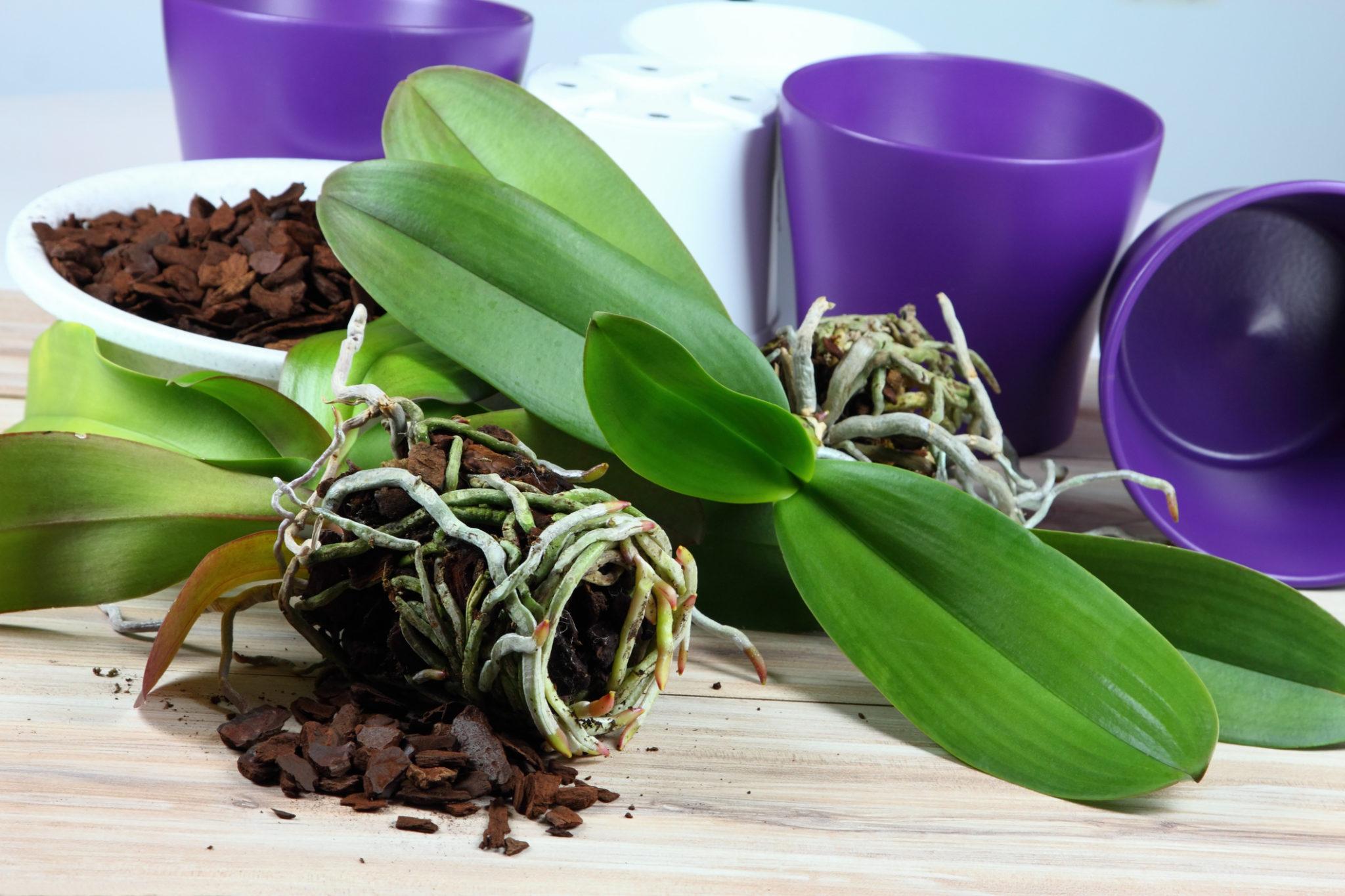 Orchideen umpflanzen ist leicht!