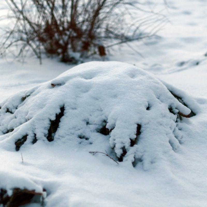 zaščita rastlina pred zimo smrekove veje
