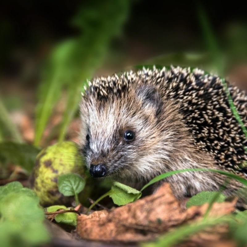 NOVEMBRSKA VRTIČKARSKA OPRAVILA V 5 KORAKIH ježek