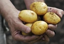 Uporabno: Domač krompir brez agrokemikalij in umetnih gnojil