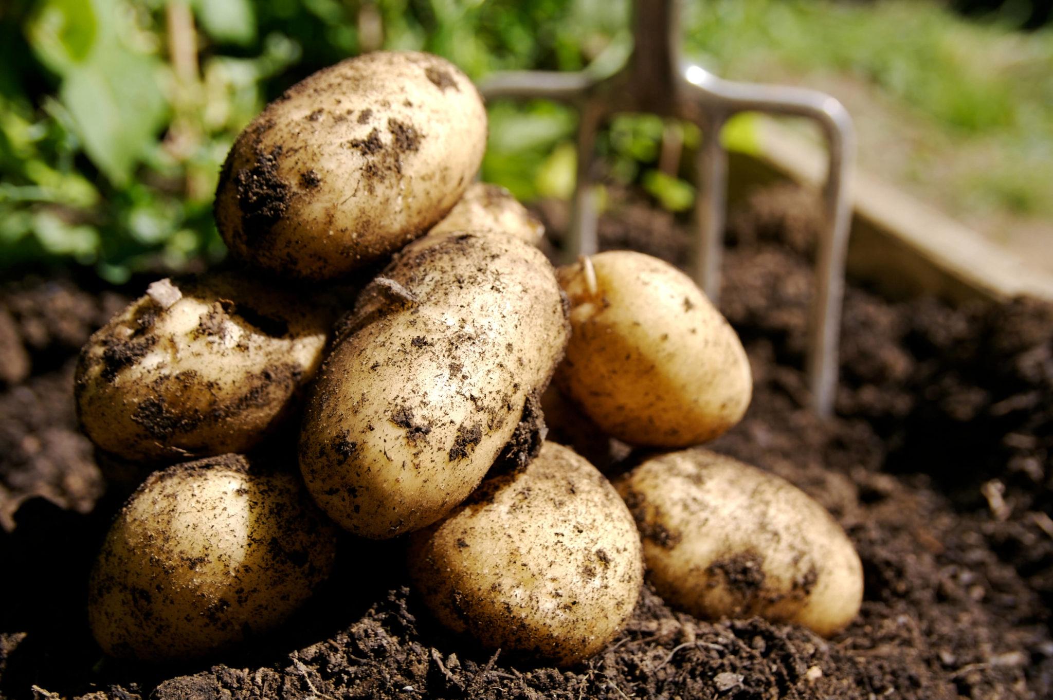 Organische Kartoffeln