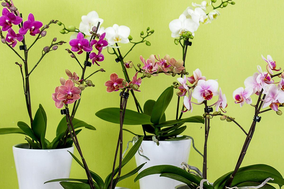 Pflege der Orchideen