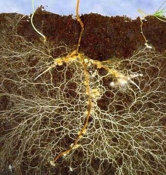mikoriza-na-koreninah