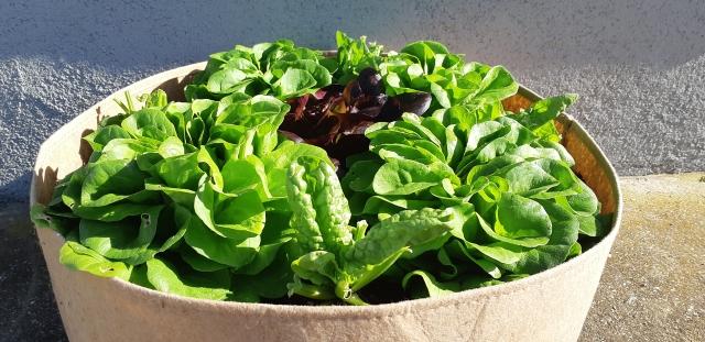 Solata-in-blitva-v-sadilni-vreči-za-zelišča PlantIN